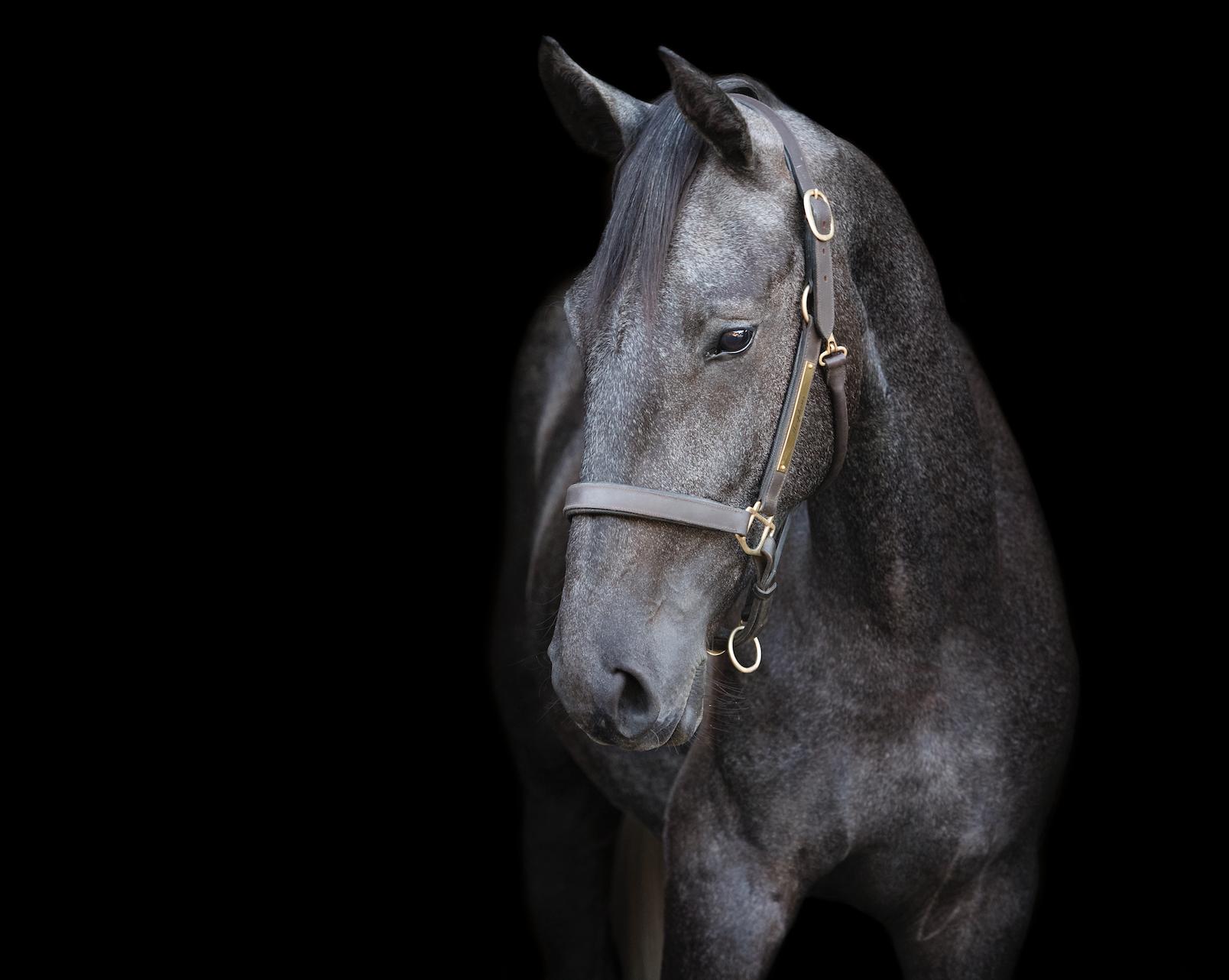 Morpheus Friesian Sport Horse